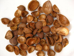 ドライ木の実■栃の実トチの実 殻だけ50個 複数あり■リース・手芸・工作