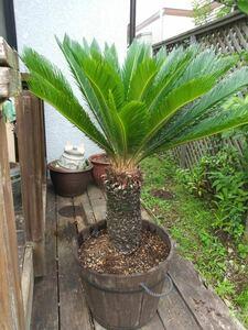 ソテツ 蘇鉄 そてつ 植物 大型 約125cm 植木苗木 鉢 観葉 ガーデニング