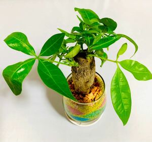 パキラ ハイドロカルチャー カラーサンドアート 観葉植物