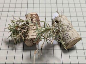 Tillandsia virescens ex. E** チランジア 欧州由来 capillaris 著名大学植物園 会長の友人 著名栽培家 カピラリス 今買わないと一生後悔