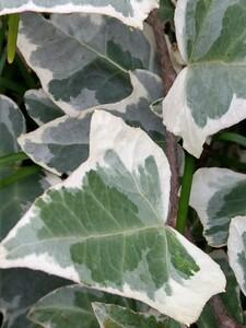 観葉植物 斑入り ヘデラ 20cm 5本以上