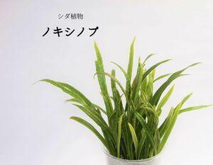 ノキシノブ(シダ植物)  パルダリウム、ビバリウム、苔テラリウム、盆栽、お庭等