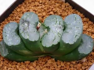 ■玉扇 北斎 葉ざし 【多肉植物 Haworthia ハオルチア ハオルシア】