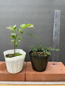 人気熱帯果樹! ジャボチカバ 1ポット フィンガーライム 1ポット 1円スタート 苗 苗木 果樹 家庭菜園 キブドウ ライム