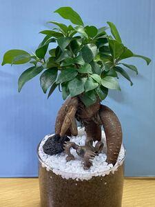 観葉植物ガジュマル ハイドロカルチャー 143