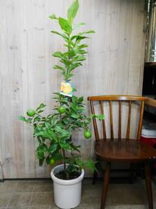観葉植物 インテリア ガーデニング レモン レモンの木 高さ約130センチ 1