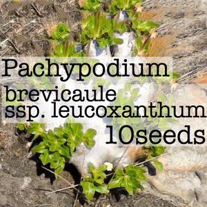 Pachypodium brevicaule ssp. leucoxanthum パキポディウム ブレビカウレ レウコキサンツム 恵比寿笑い 種子10粒