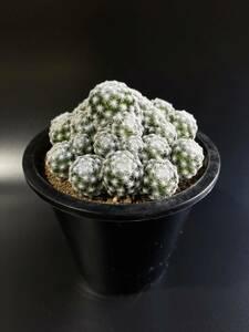 マミラリア 姫春星 サボテン 多肉植物 塊根植物 観葉植物