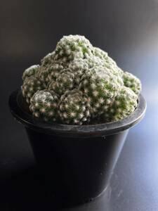マミラリア 姫春星2 サボテン 多肉植物 塊根植物 観葉植物