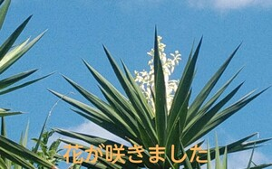 観葉植物 ユッカ エレファンティペス  風水(金運) 青年の木 鹿児島県霧島産 耐寒性 芽・根出し済み