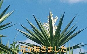観葉植物 ユッカ エレファンティペス  風水(金運) 青年の木 鹿児島県霧島産 耐寒性 1本立ち 1.5㍍ シンボルツリー