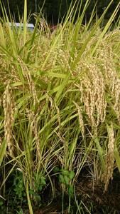 令和3年度-こがねもち 農家直送 新米30kg玄米 無農薬