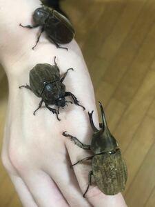 グランディスヒナカブト (グランディスコフキ) WF3 初2齢幼虫3頭セット ★人気のヒナカブト ★レア種 2020年WDから累代継続中