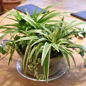 【数量限定】観葉植物 ソトフオリヅルラン(外斑折鶴蘭)抜き苗 1苗