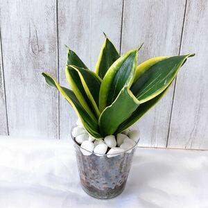 サンスベリア サムライ観葉植物 多肉植物ハイドロカルチャー