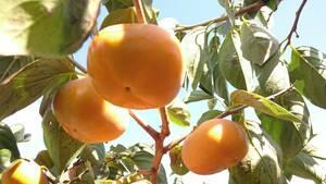 ◆和歌山◆かつらぎ◆刀根早生柿(たねなし柿) 若干わけあり◆◆6.5キロ◆◆ 減農薬◆有機肥料