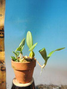 T♪洋蘭   Bulbophyllum scaberulum    洋ラン