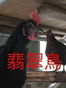 1.翡翠鳥 有精卵5個 プラス割れ保証1個