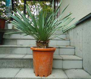 Plant■ユッカ・ロストラータ/Yucca Rostrata/ビークユッカリュウゼツラン/観葉植物■80㎝■ワイルドな樹形