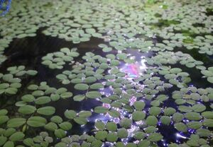 ●水草●サルビニア・ククラータ (浮草) ミニサイズ 10株
