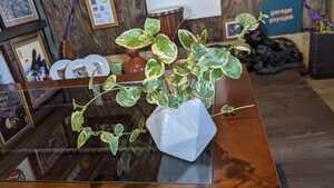 アイビー 観葉植物 ヘデラ 癒やし 無農薬