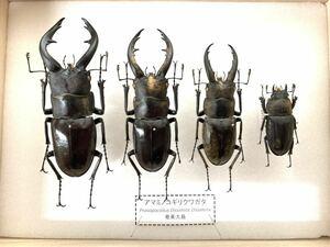 【展足済】アマミノコギリクワガタ 金粉個体 4頭セット♂67㎜59㎜49㎜♀29㎜【標本】