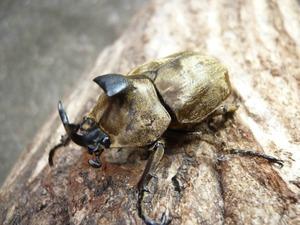 阿古谷オオクワ園★ 美麗種 キャメロンハイランド産 サビイロカブト 幼虫5頭