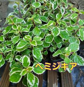 『斑入り・ヘミジキア(シンコロステモン)』3号ポット苗 抜き苗 2ポット分 草花 カラーリーフ