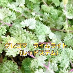 希少!『グレコマ・ライムライト(レッドステム)』4号ポット苗 抜き苗 1ポット分 ハーブ 観葉植物