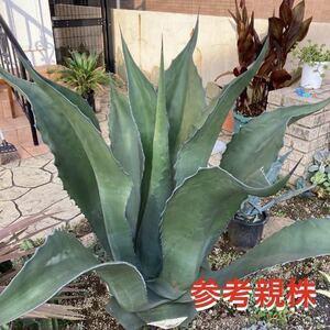 アガベ サルミアナ フェロックス 猛竜舌 salmiana v.ferox 多肉植物 ドライガーデン