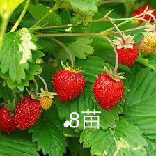 ワイルドストロベリー 苗 赤実 8苗