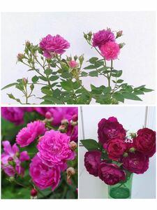 ミニバラ スイートチャリオット 四季咲き バラ苗