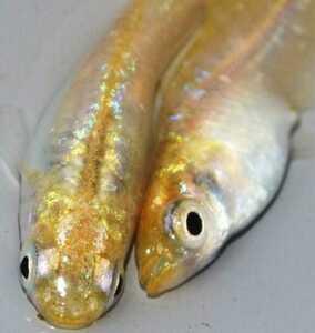 《メダカの楽園》 極上 美麗《リビアングラス》ヒカリ個体 広島プロショップ血統 綺麗に輝く『1』1㎝前後10匹稚魚