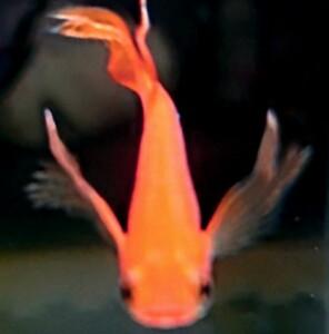 【ぽんぽこめだか】竜宮城からやってきた人魚姫 朱赤天女の舞めだか 有精卵10個 ヒレ長 メダカ
