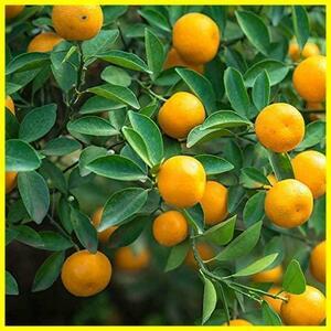 新品金柑の苗木 品種:四季柑【品種で選べる果樹苗木 2年生 接木苗 15cmポットSQXL