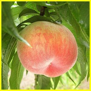 新品桃の苗木 品種:あかつき【品種で選べる果樹苗木 2年生 接木苗 12cmポット19DN
