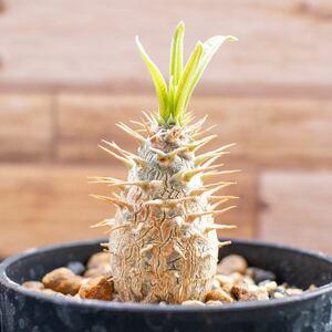 特選株 グラキリス ① 実生 パキポディウム 多肉植物 塊根植物 コーデックス