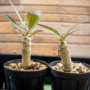 パキポディウム バロニー ウィンゾリー 2本セット 実生 検索 【多肉植物 塊根植物 コーデックス ウィンゾリー