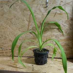 ユッカ ラカンドニカ:Yucca lacandonica 着生激レアユッカ