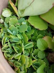送料込み 子宝草 多肉植物 観葉植物 お守り マザーリーフ 幸運の葉 赤ちゃん苗 抜き苗 ★ 子宝 妊娠菌 多肉植物