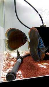 ディスカス 熱帯魚