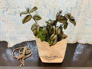観葉植物トラディスカンチア★カット苗発根済み鉢つきおまけアロマティカス