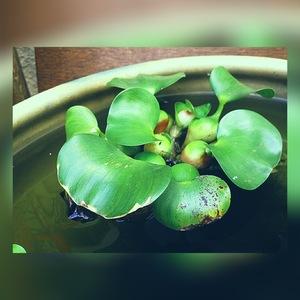 ホテイ草 (10株) 水草 浮き草 メダカ 国産 ビオトープ ホテイアオイ