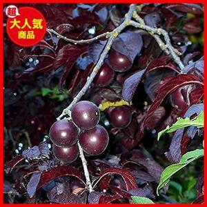 スモモの苗木 品種:紅葉スモモ(ハリウッド)【品種で選べる果樹苗木 12~15cmポット 1年生