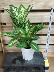 観葉植物『ディフェンバキア・コンパクタ』5寸現品出品