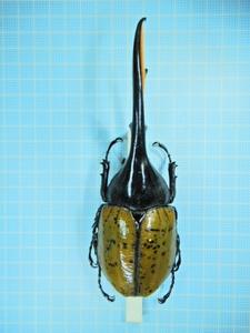 エクアドル産 リッキーヘラクレス 148mm