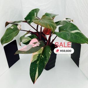 希少 フィロデンドロン ピンクプリンセス 4芽 観葉植物 極美斑(A-2)