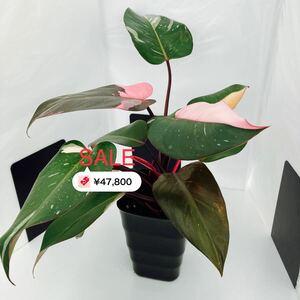希少 フィロデンドロン ピンクプリンセス 3芽 観葉植物 美斑 ハーフムーン (A-3)