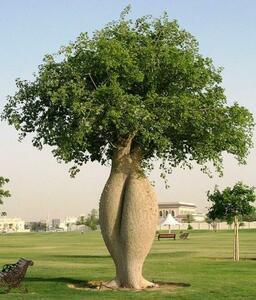 トックリキワタ 種子20粒 ★ 塊根植物 パキポディウム グラキリス ★