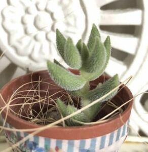 ★多肉植物*オシャレな銀揃 *カット苗*寄せ植えに♪送料73円